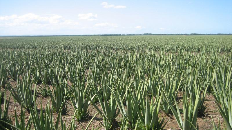 Aloes – roślina o niezwykłych właściwościach